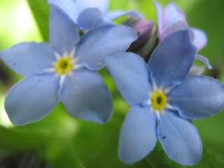 Forget-Me-Nots | by Joey's Dream Garden