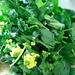 Tasai flowers