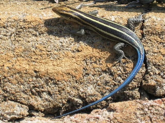 blue tailed skink coloring pages - photo#16