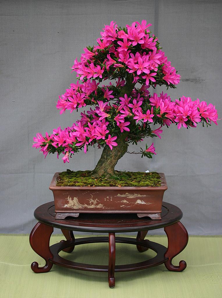 Azalea bonsai a miniature azalea on display in the kyoto - Cultivo de bonsai ...