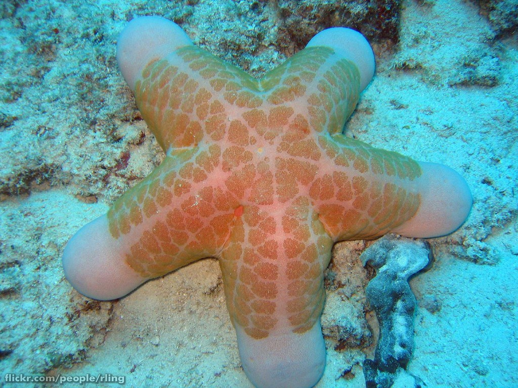Starfish choriaster granulatus the sea star choriaster gra flickr for Etoile de mer deco