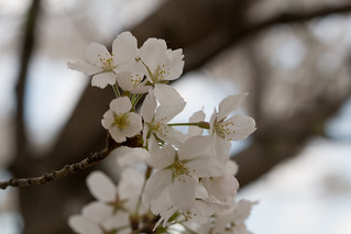Cherry Blossoms | by guitar fish