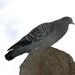 Spot-winged Pigeon (Patagioenas maculosa)