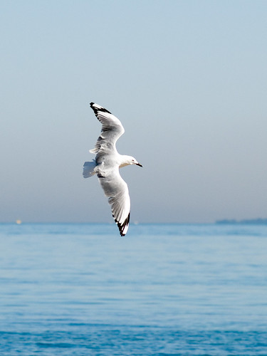 Silver Gull | by Timmy Toucan