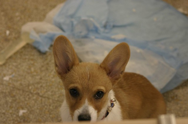 Puppy Pads For Dogs In Heat