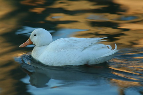 White Duck 1 | by J. Robinson