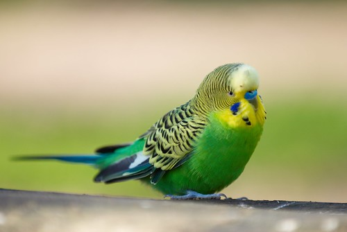 budgie | by tr1307