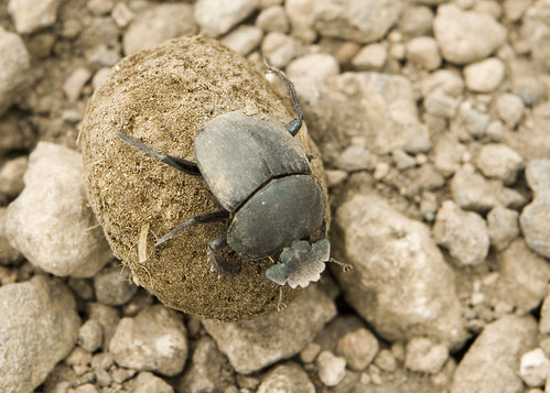 Dung Beetle near Ngorongoro Crater | by DavidDennisPhotos.com