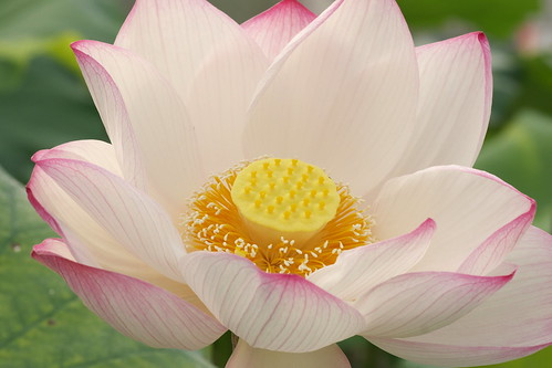 Lotus | by George Lu