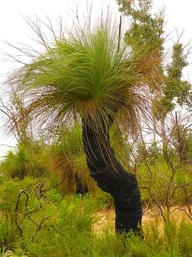 """Grass Tree - """"Bla..."""