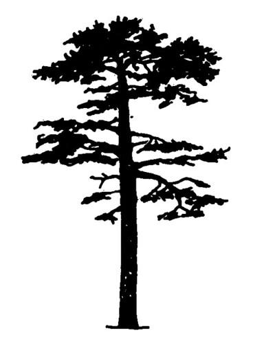 scots pine - silhouette