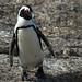 Jackass Penguin - Boulders