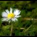 daisy, ortonized