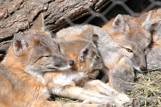 Sleeping Foxes | by Templarion