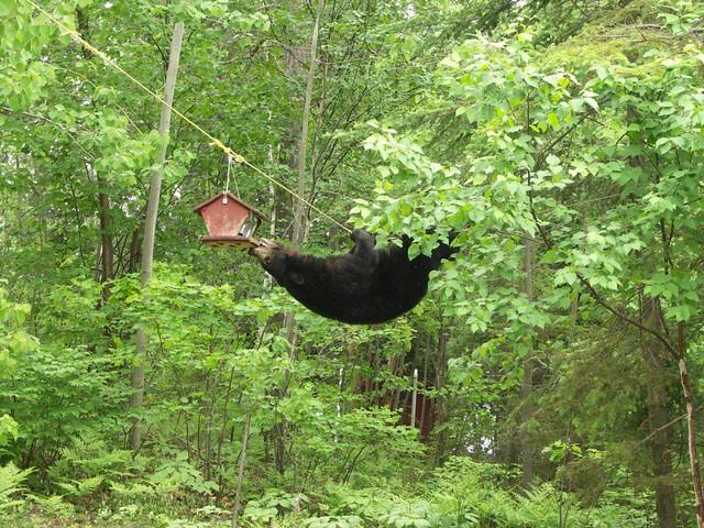 Black Bear After A Bird Feeder He S Cute Yeah He S