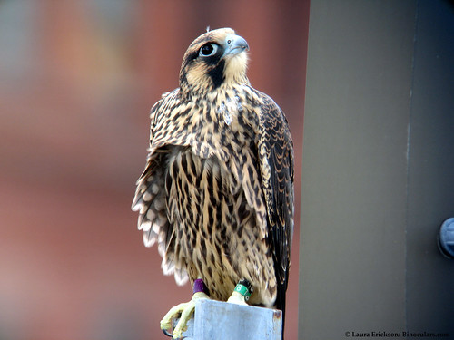 Barely-fledged Peregrine Falcon
