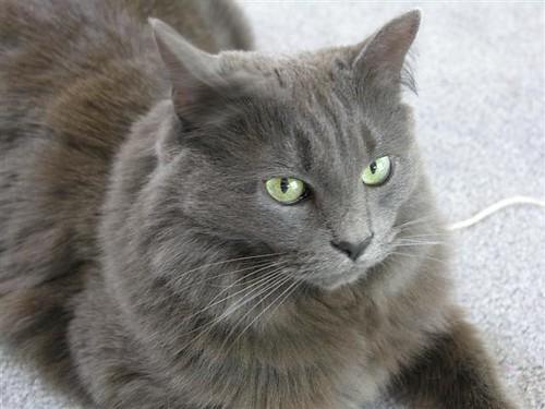 Dark Grey Cat With Blue Eyes
