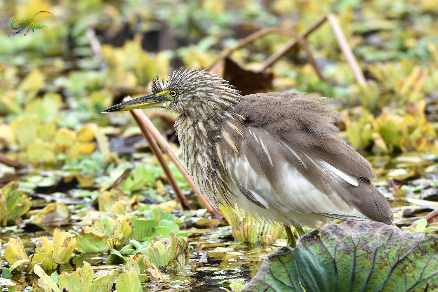 Chinese_Pond_Heron_3638