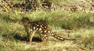 Tiger quoll | by pierre pouliquin