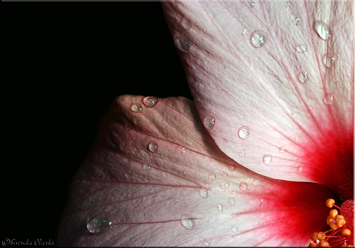 Hibiscus. | by Brenda-Starr