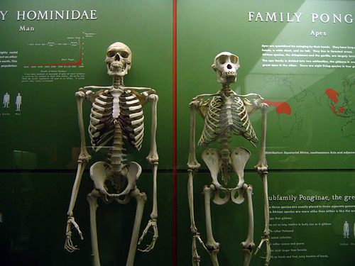 a comparison of the characteristics of humans and chimpanzees Review table 1, characteristics of apes and humans gibbons, chimpanzees, gorillas, and orangutans are four groups included in the ape family.