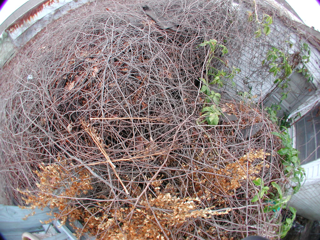 Rat S Nest There S A Huge Grapevine Bramble In Back Of