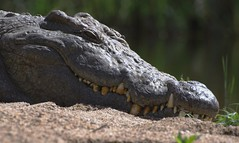 Nile crocodile | by Arno Meintjes Wildlife
