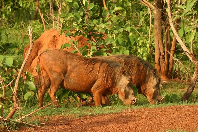 Ghana Mole National Park The Mole National Park Is The