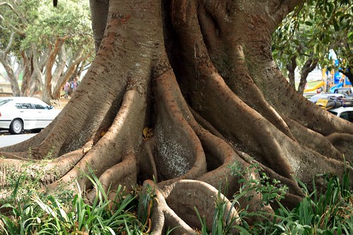 Amazing Fig Tree #1: 417274045_f311ba371c.jpg