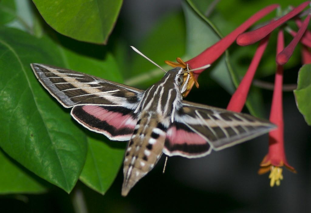 White-lined Sphinx moth | Photographed at a Coral ...