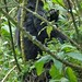 Susa group, mountain gorillas the other twin