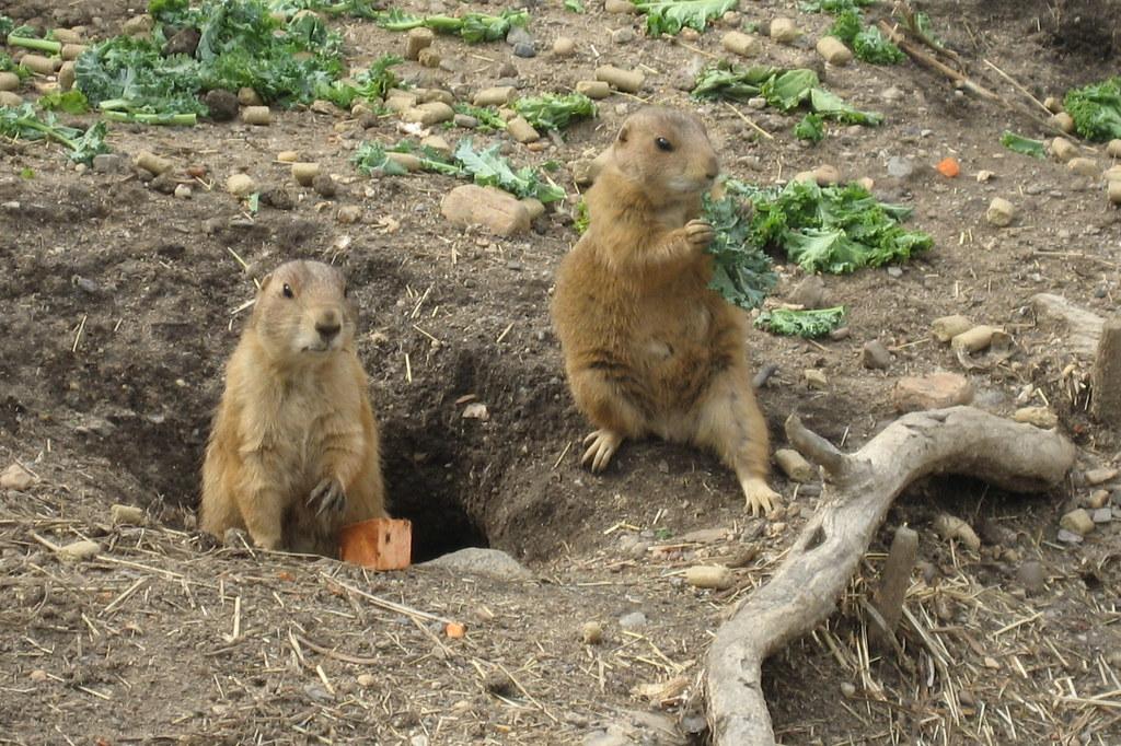Prairie Dog Bark Sounds