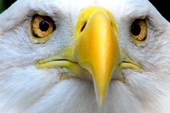 Eagle Closeup | by Pen Waggener