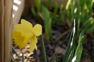 First daffodil 2007 | by unertlkm