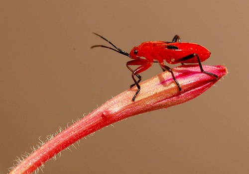 Red insect | by P. Thyaga Raju