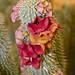 Hoodia ruschii hybrid flowers & buds