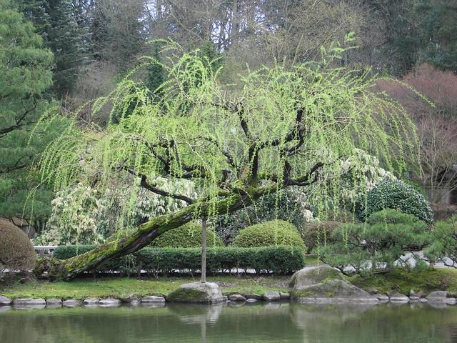 Willow tree in seattle 39 s japanese garden penga librarian for Trees garden of jane delawney blogspot
