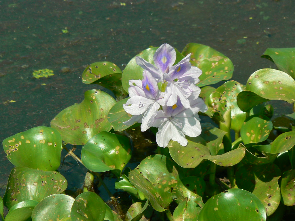 Common Water Hyacinth | Common name: Water Hyacinth ...