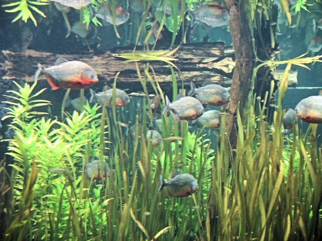 Red Belly Piranha Fish Tank Red Bellied Piranhas by
