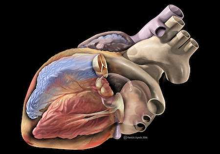 Heart anatomy | by Patrick J. Lynch