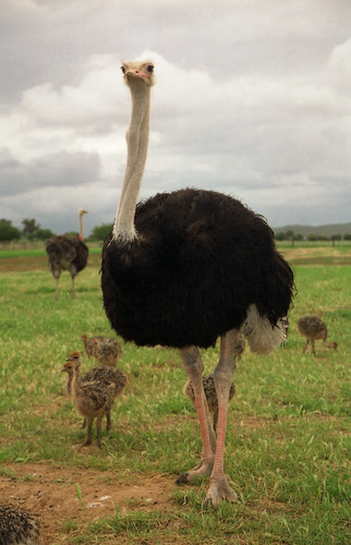 Ostrich | by exfordy