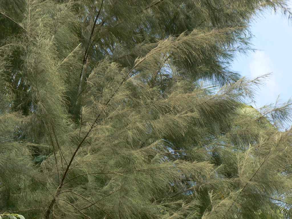 Casuarina Equisetifolia Common Name Australian Pine