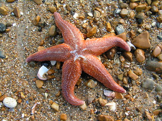 Starfish | by annabels