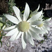 My left foot ... Awabakal Reserve Flannel Flower