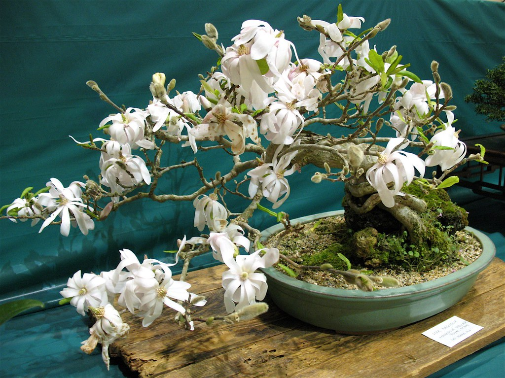magnolia stellata 39 royal star 39 this bonsai is 40 years. Black Bedroom Furniture Sets. Home Design Ideas
