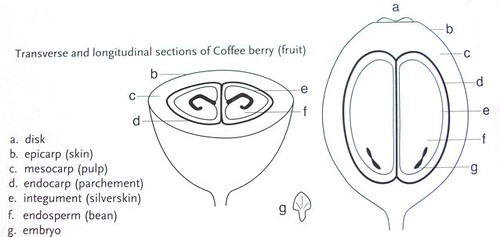a closer look at the coffee bean