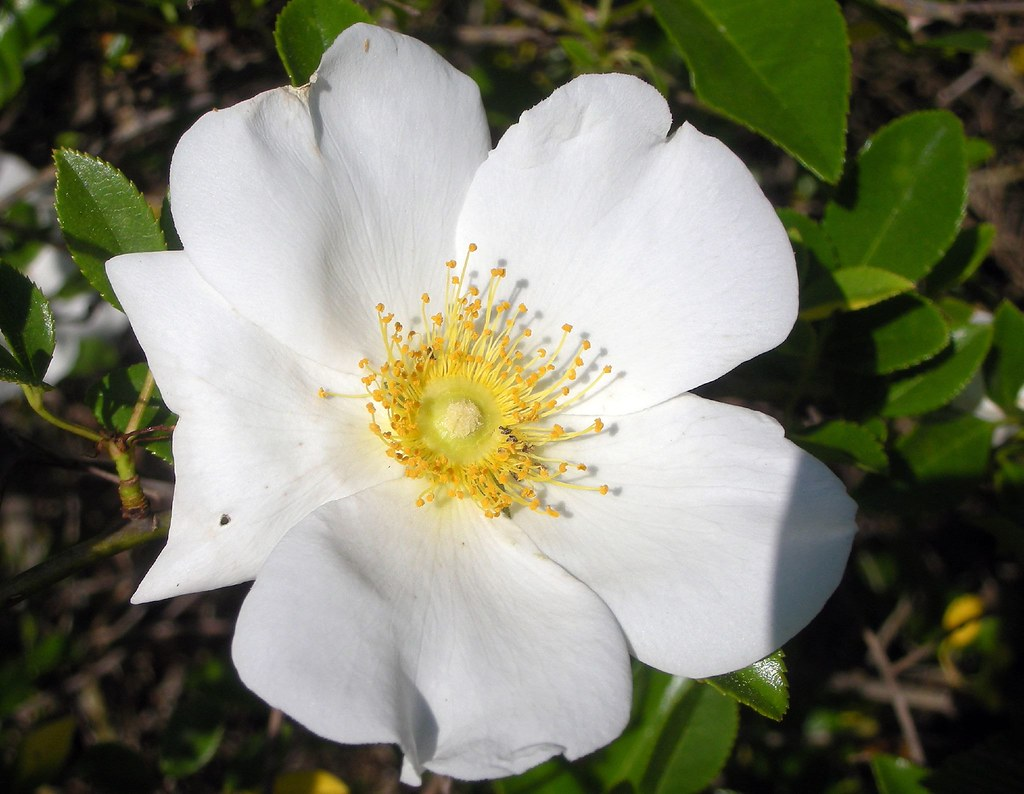 State Flower Of Georgia Cherokee Rose