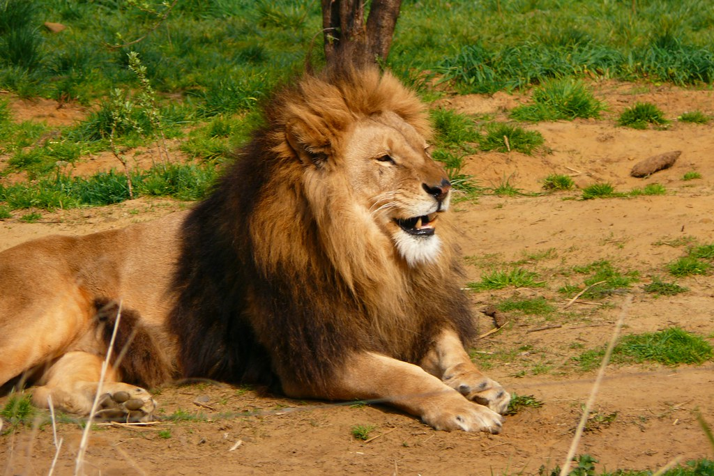 Lion smiling | Alexander Cyliax | Flickr