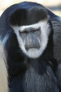 colobus monkey | by SouthernBelladonna