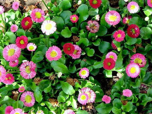 Bellis perennis english daisies morgaine flickr for Bakker piante perenni